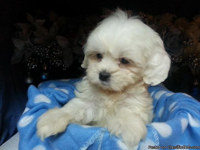 ** TINY MALTIPOO FEMALE PUPPY **PLAYFUL & AFFECTIONATE**
