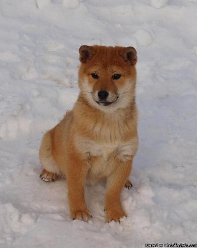 17 week Y.O, Female Shiba Inu Puppy for Sale - Price: $500.00