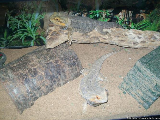 2 Adult Bearded Dragons for sale - Price: $150 for both