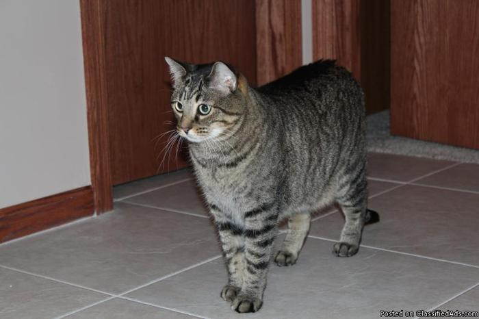 2 Adult, Declawed, Neutered Male Cats In Need of New Home! - Price: Free to good home