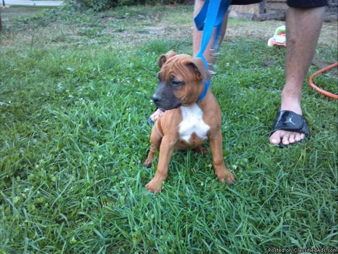 3 american pitbull terriers for sale - Price: $125
