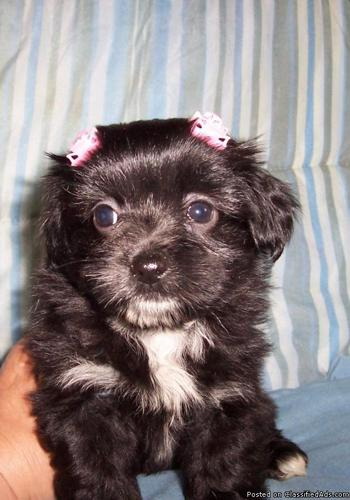 3 Morkie females now only $300 - Price: 300