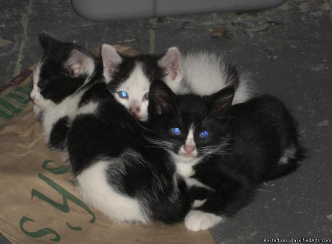 3 x 6 week old kittens need homes! (Westport - KC)