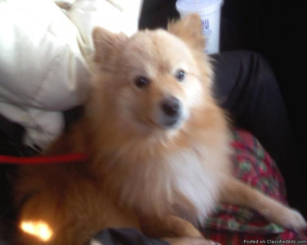 3 year old pomeranian needs a new home - Price: $500