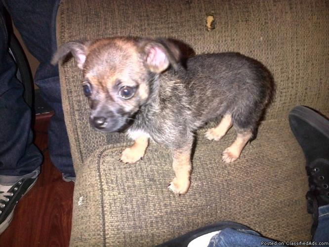 3month puppy for sale - Price: $80