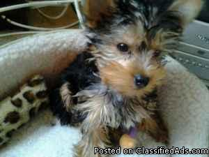 4 Month old male yorkie - Price: 750