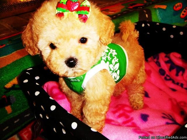 $400, Tiny & Precious Maltipoo Puppies - Price: 400