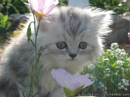 8 Week old Persian Kitten For sale - Price: 350