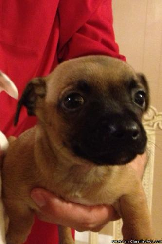 8 week old Purebred Chihuahua ? Brown and Black MUST SEE! - Price: 150.00