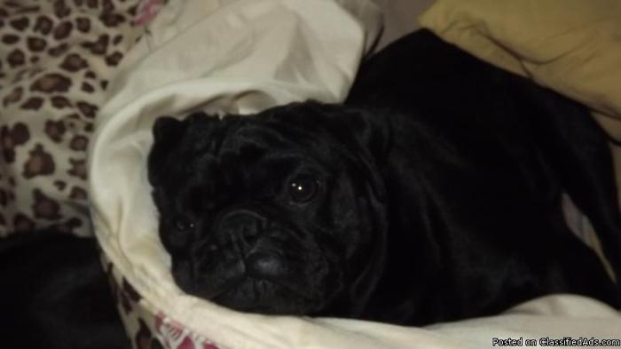 A little blk pug lost
