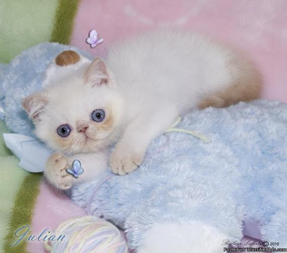 Absolutely Gorgeous Exotic Short Hair Kittens - Price: $550 00 and