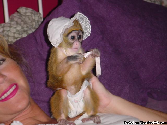 Adorable capuchin monkey babies