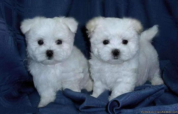 adorable christmas maltese puppies for new homes. - Price: 300$
