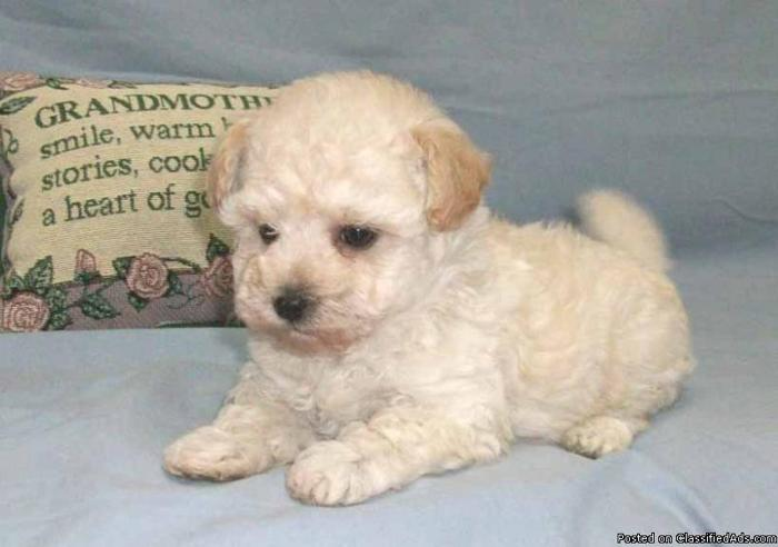Adorable Cream Toy Maltipoo Puppy - Price: 1600 00 for sale