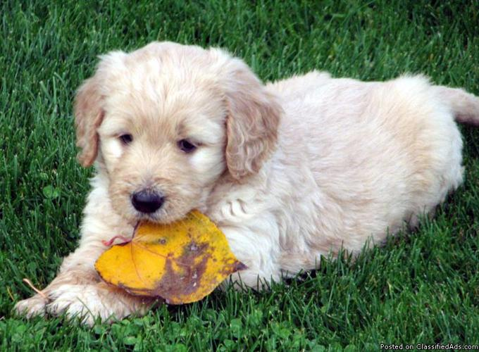 Adorable F1 Goldendoodle Puppies Price 600 For Sale In