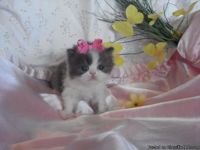 ADORABLE FLUFFY PERSIAN KITTENS