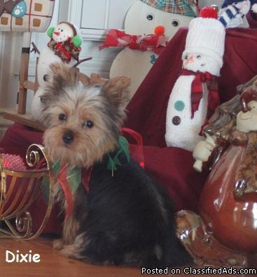 Adorable little yorkie female - Price: 1200.00