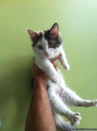 Adorable Munchkin Kittens For Sale! - Price: $750