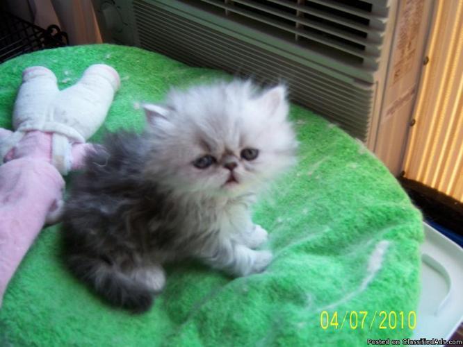 Persian kittens in colorado springs