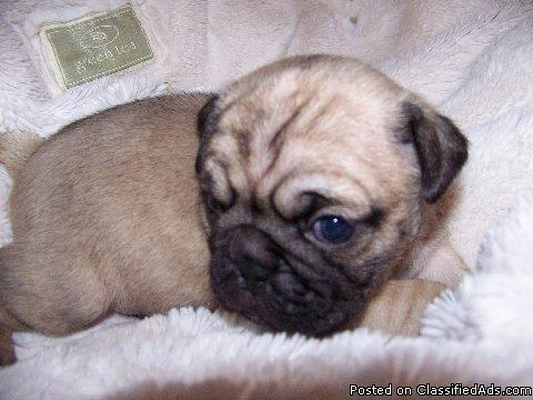 Adorable Pug/Chug puppies - Price: 250 00 for sale in