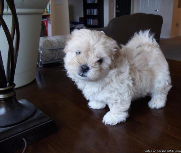 Adorable Puppies!! - Price: $400-$450