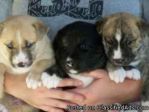 Adorable Puppies ready for Christmas - Price: Free to good home
