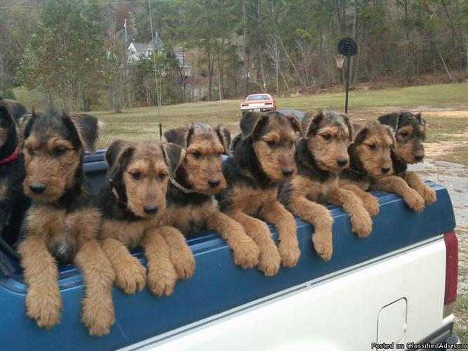 Airedale terrier idaho