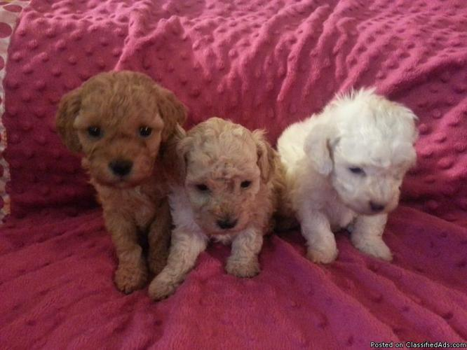 Akc Adorable Toy Poodles For Sale In Deer Park Washington