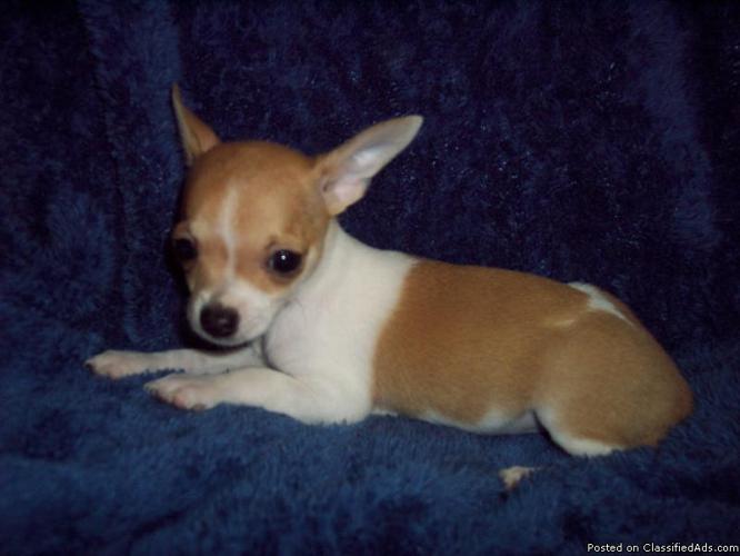 Chihuahua Applehead Akc apple head chihuahua