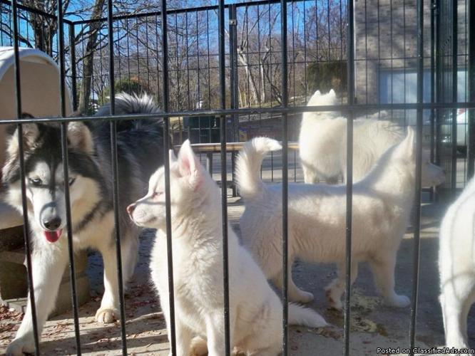 AKC Beautiful White Siberian Husky Pups in Quincy,Il - Price