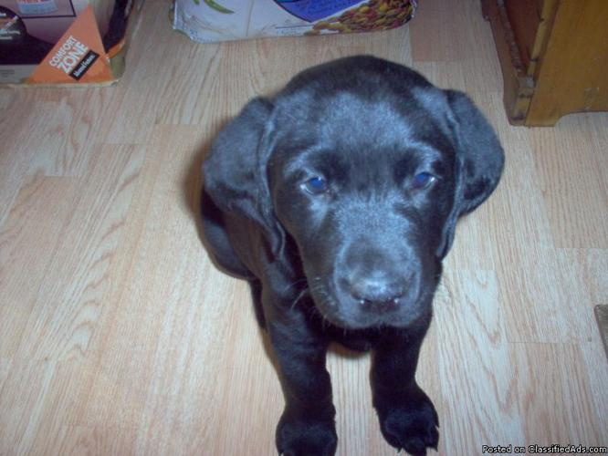 AKC BLACK LAB PUPPIES - Price: 300 00 for sale in Bruce Crossing