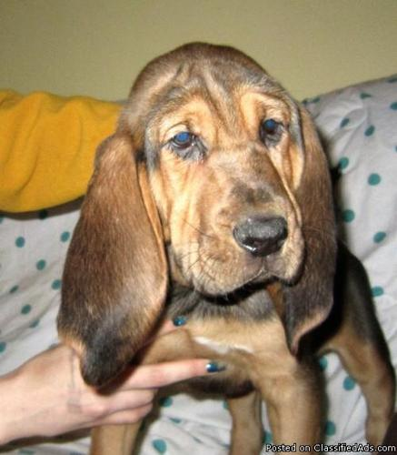AKC Bloodhound Puppies Available Now - Price: 180