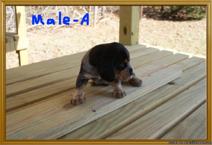 Akc Bluetick Beagle Pups Price 25000 For Sale In Dry Prong