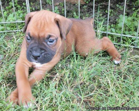 Akc boxer puppies for sale price 700 for sale in eunice louisiana