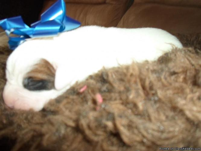 AKC BOXER PUPPIES - Price: 500 00 for sale in Nowata