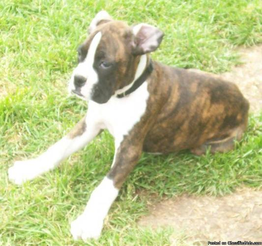 AKC Boxer puppies - Price: call for details