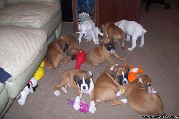 Akc Boxer Pups Champion Bloodlines For Sale In Glendale Arizona