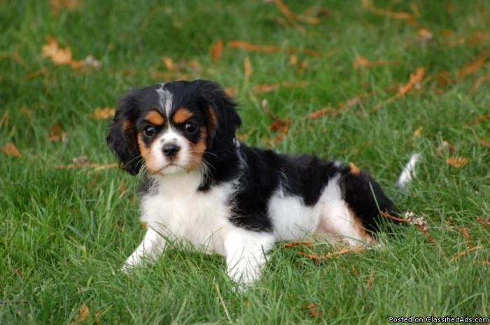 Cavalier king charles spaniel for sale in sc