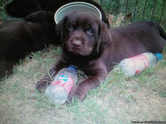 AKC Chocolate Lab Pup-Male