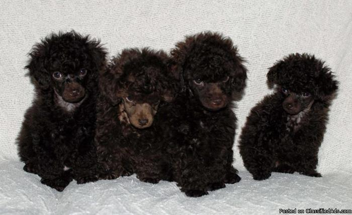 Akc Chocolate Toy Poodle Puppies
