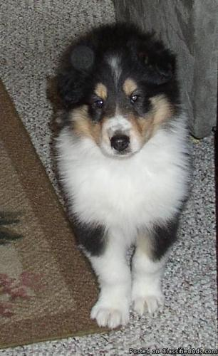 AKC COLLIE Puppies - Price: 350