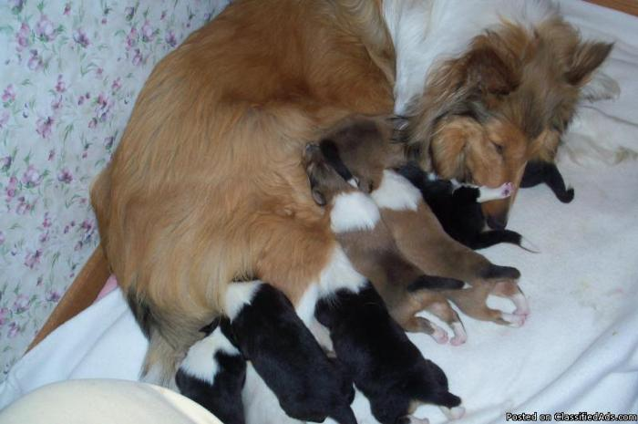 AKC COLLIE PUPPIES - Price: 500.00