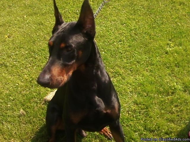 AKC DOBERMAN PINSCHER PUPPIES FOR SALE - Price: 600 00 for