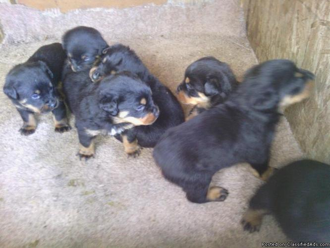 Akc German Rottweiler puppies for sale - Price: 650.00