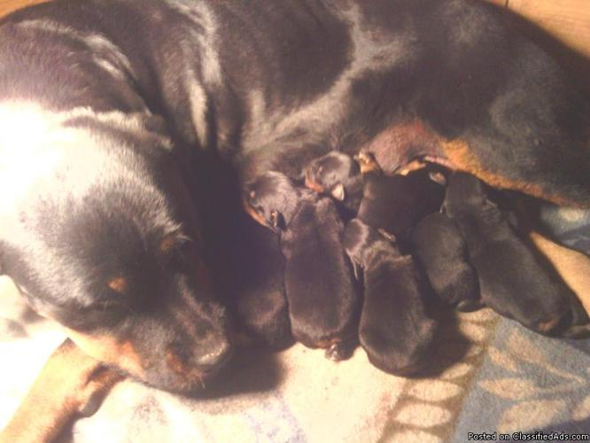 Akc German Rottweiler puppies for sale - Price: 700