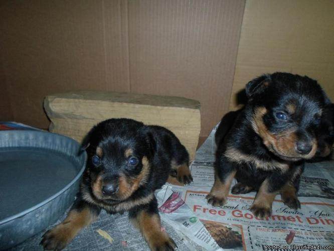 Akc German Rottweiler Puppies For Sale In Rocky Mount North