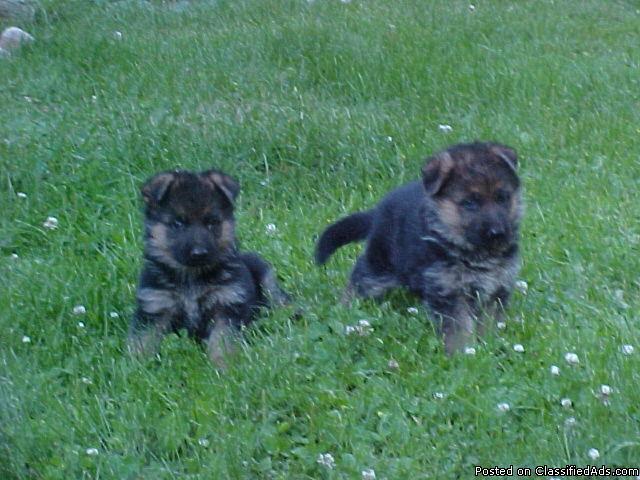 AKC German Shepherd Puppies - Price: $1000
