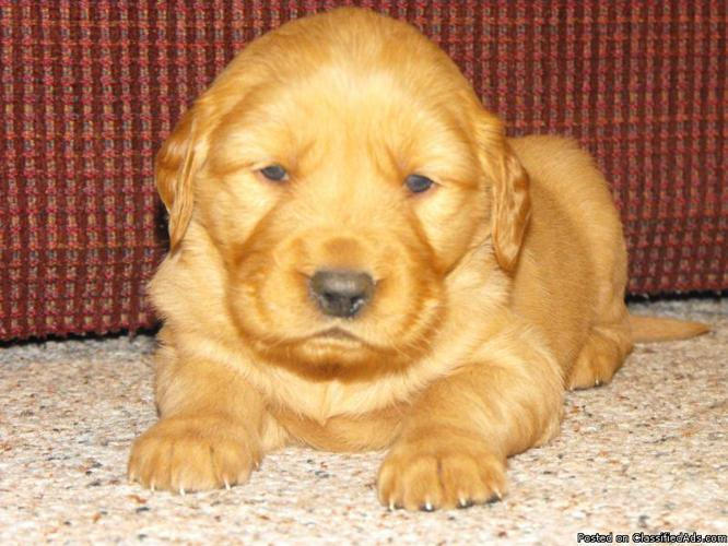 Akc Golden Retriever Puppies Price 250 00 For Sale In Sonora