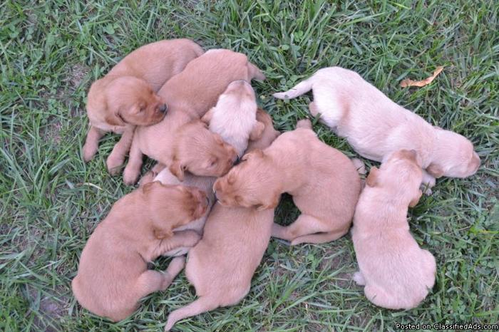AKC Golden Retriever puppies - Price: $450- $475 for sale in