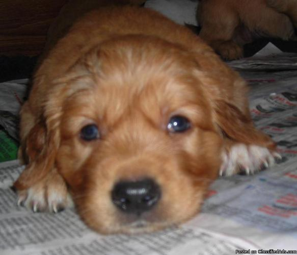 Akc Golden Retriever Puppies Price 500 For Sale In Ocala